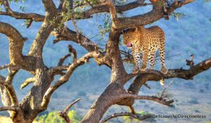 Leopard at Masai Mara Kenya