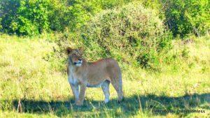 Lioness at Masai Mara Kenya