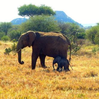 Elephant & baby at Ol Jogi Kenya