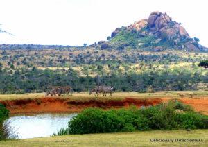 Zebras at Ol Jogi Kenya