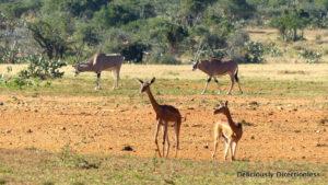 Eland & Gerenuk at Ol Jogi Kenya
