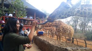 Feeding giraffes at Giraffe centre Nairobi Kenya