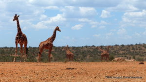 Giraffes at Ol Jogi Kenya