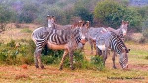 Grevy zebras at Ol Jogi Kenya