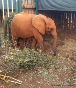 Mteto at David Sheldrick Trust Nairobi Kenya