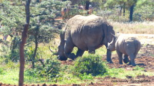 Rhino & baby 2 at Ol Jogi Kenya