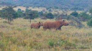 Rhino & baby at Ol Jogi Kenya